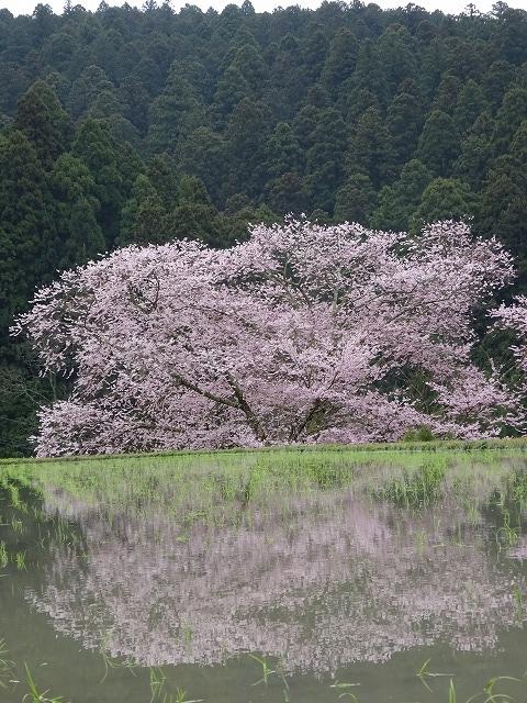 水田に映る諸木野の桜と山