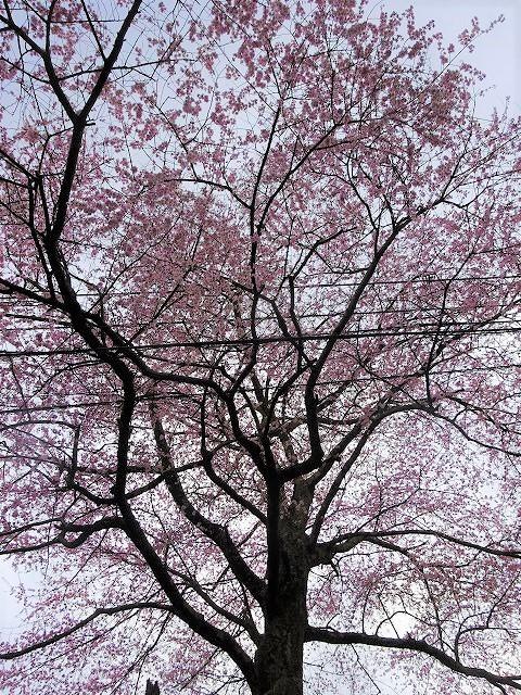 下から見る諸木野の桜のアップ