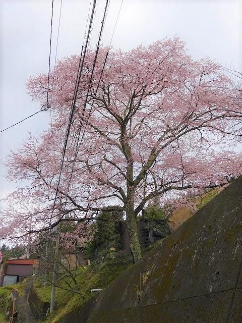 道路側の諸木野の桜