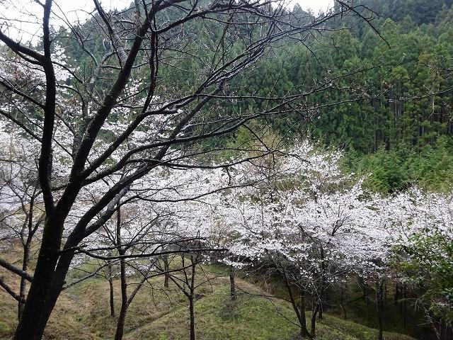 諸木野の桜周辺の桜