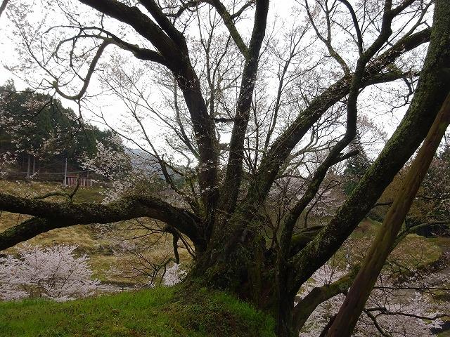 千年桜の根株