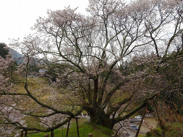 佛隆寺の千年桜の下の方