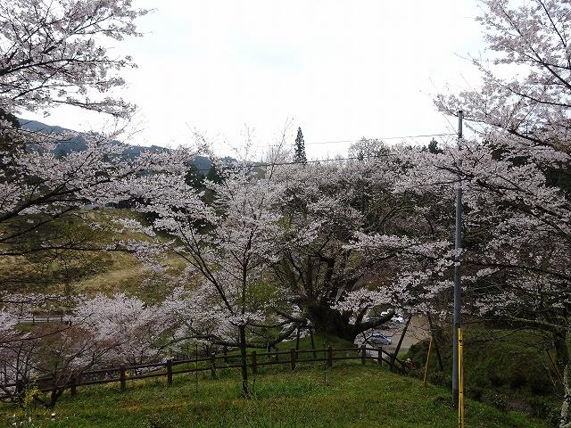 佛隆寺の千年桜の遠くからの佇まい
