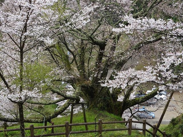 佛隆寺の千年桜の足もとアップ