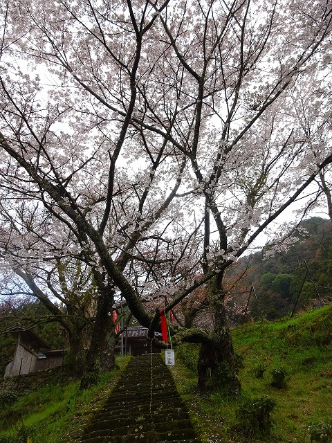千年桜以外の桜