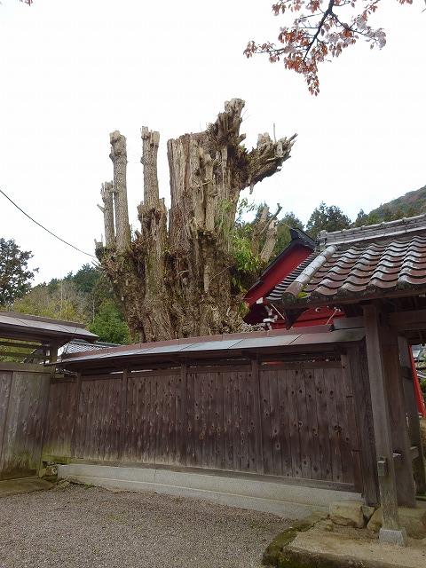佛隆寺の境内にあった大きな老木