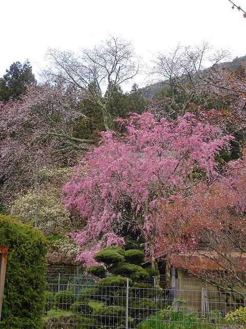 佛隆寺の境内に咲いていた桜?