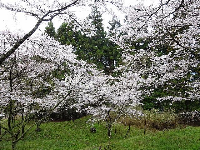 千年桜周辺咲く桜