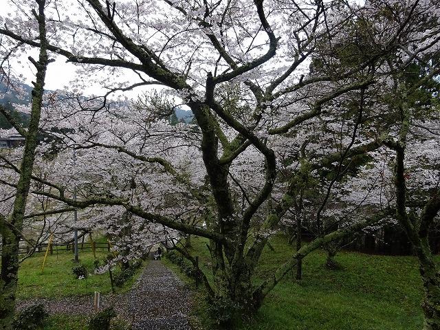 千年桜の下の方