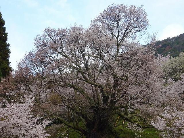 佛隆寺の桜のアップ