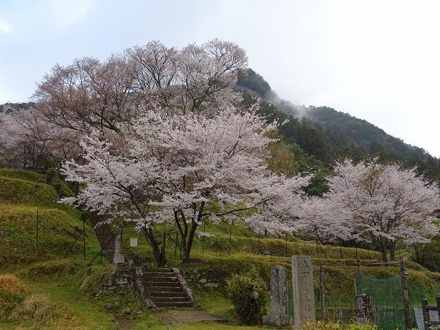 下から見る佛隆寺の千年桜