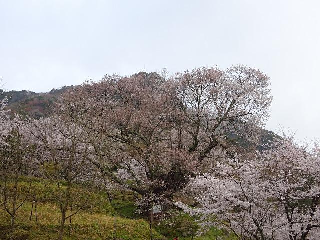 大きく咲きほこる佛隆寺の千年桜