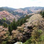 一目千本から観た桜景色