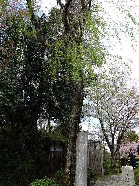 吉水神社秀吉花見の本陣の木