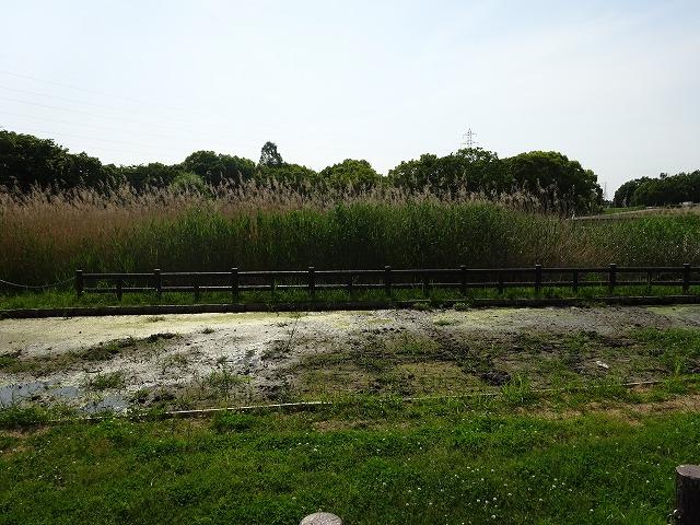深北緑地レンコン畑