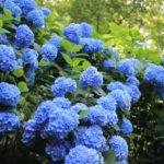 アジサイ園の青い紫陽花