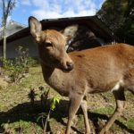 春日大社にいた鹿